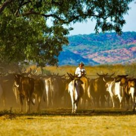 Bullo River Station cattle mustering