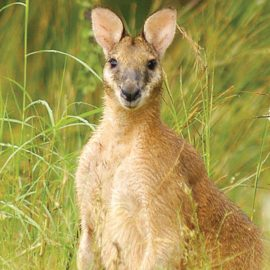 Mornington Wilderness Camp Agile Wallaby